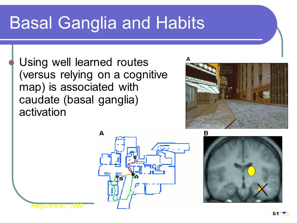 51 Basal Ganglia and Habits Using well learned routes (versus relying on a cognitive map) is associated with caudate (basal ganglia) activation Maguire et al., 1998