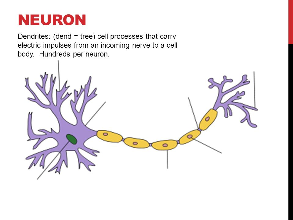 NEURON ANATOMY. NEURON Dendrites: (dend = tree) cell processes that ...