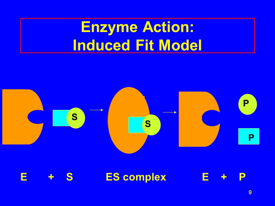 9 Enzyme Action: Induced Fit Model E + S ES complex E + P S P P SS