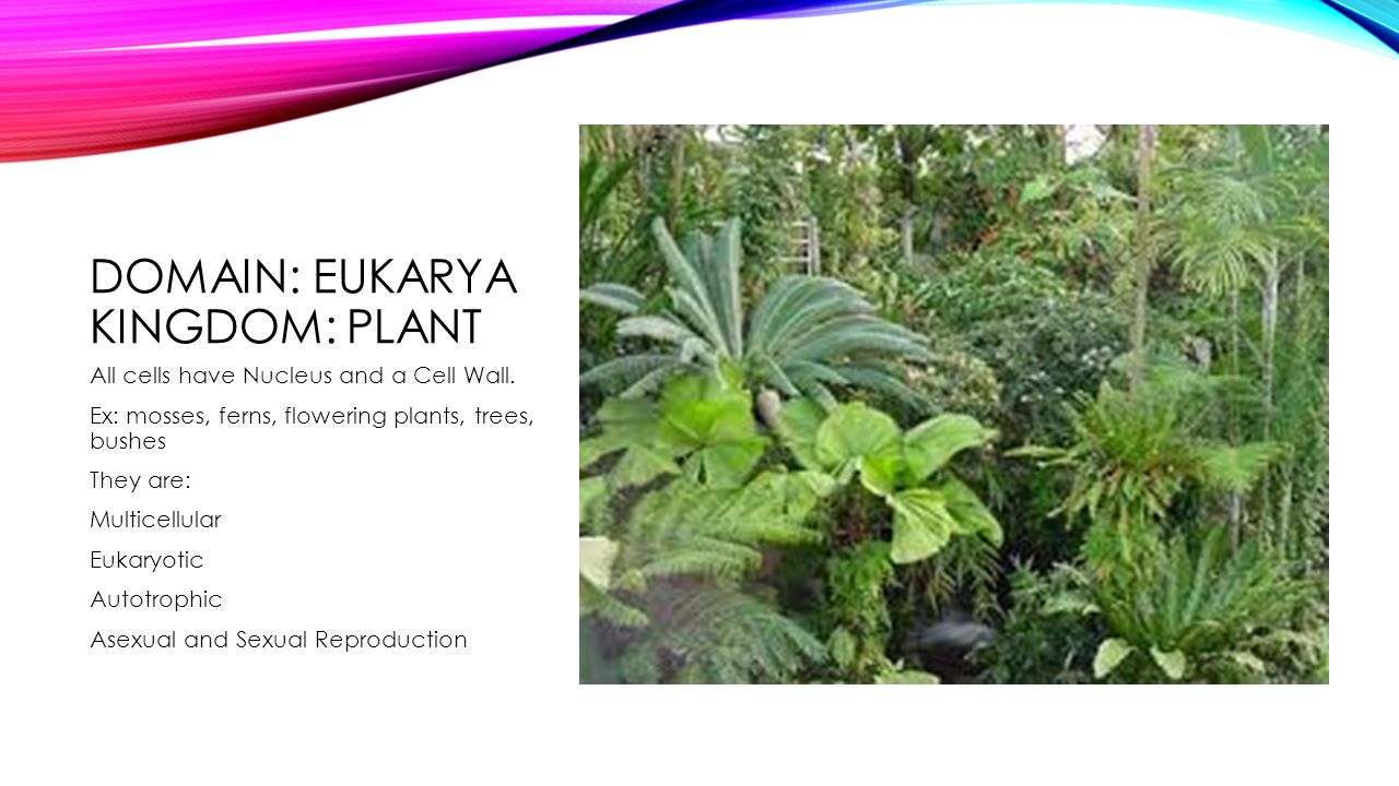 DOMAIN: EUKARYA KINGDOM: PLANT All cells have Nucleus and a Cell Wall.