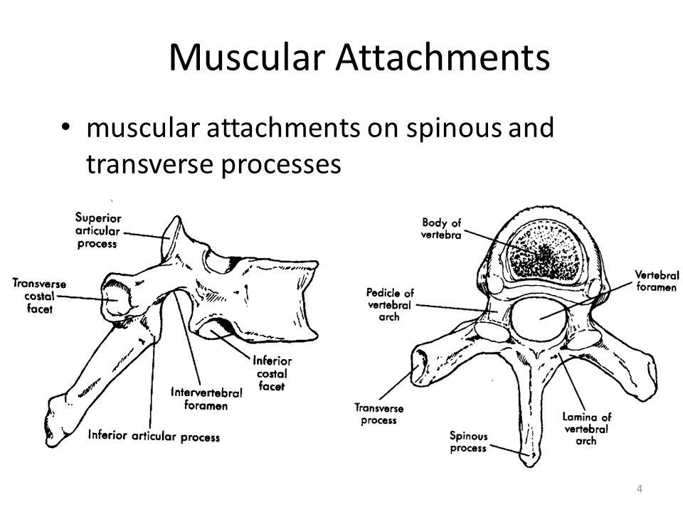 Vertebrae H Smith 3 Spinous Process Transverse Process Body