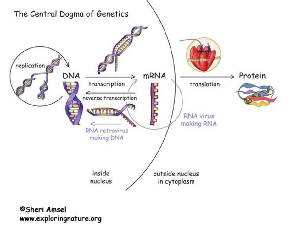 Central Dogma Of Biology Dna Mrna Protein Dna Transcribes To