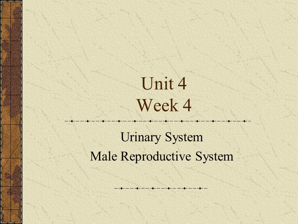 Unit 4 Week 4 Urinary System Male Reproductive System Ppt Download