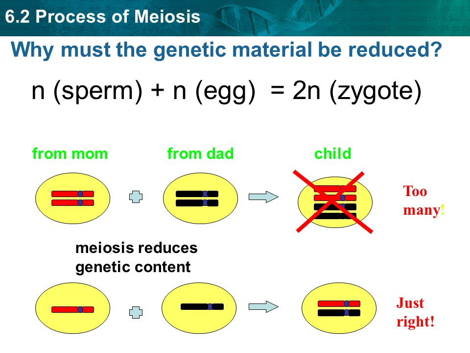 62 process of meiosis key concept meiosis creates sex cells that 62 process of meiosis why must the genetic material be reduced ccuart Choice Image