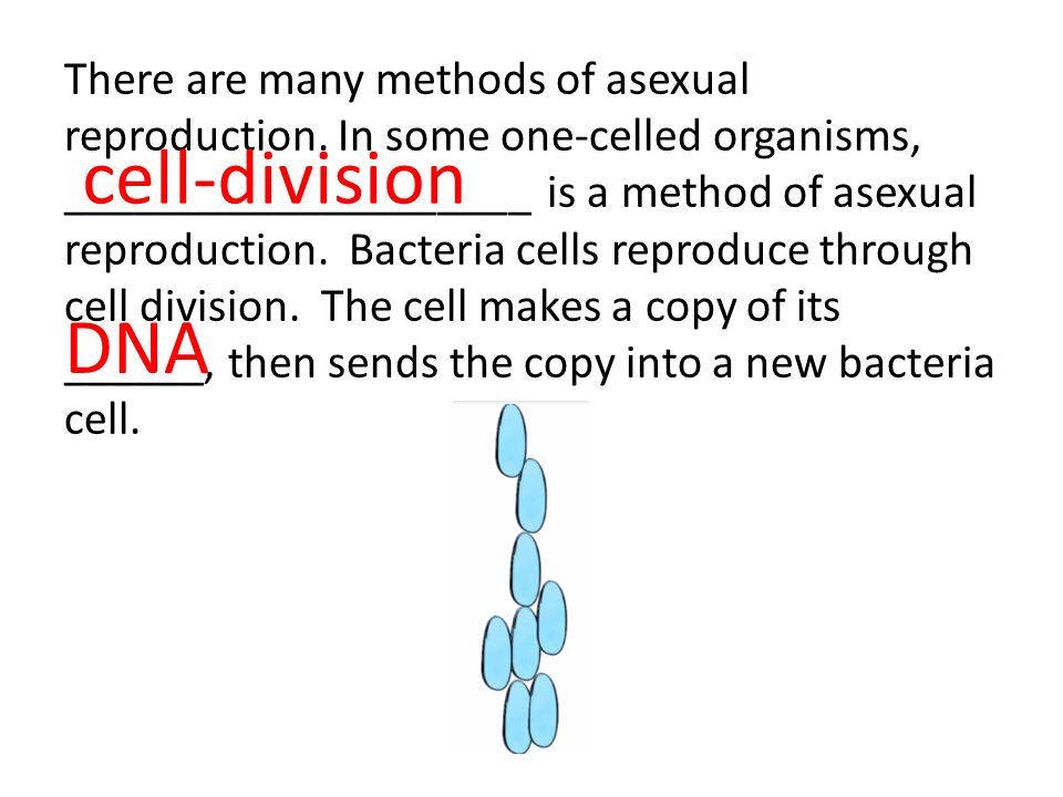 Asexual reproduction bacteria cell division