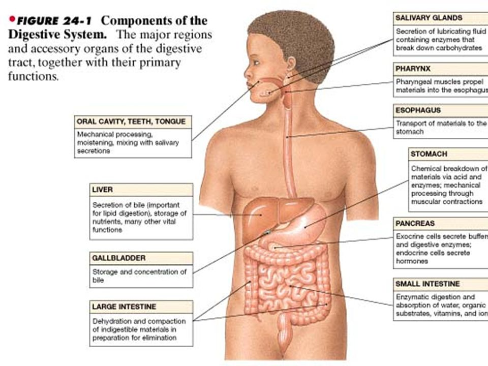 Digestive system organs Alimentary canal or GI tract 1. mouth 2 ...