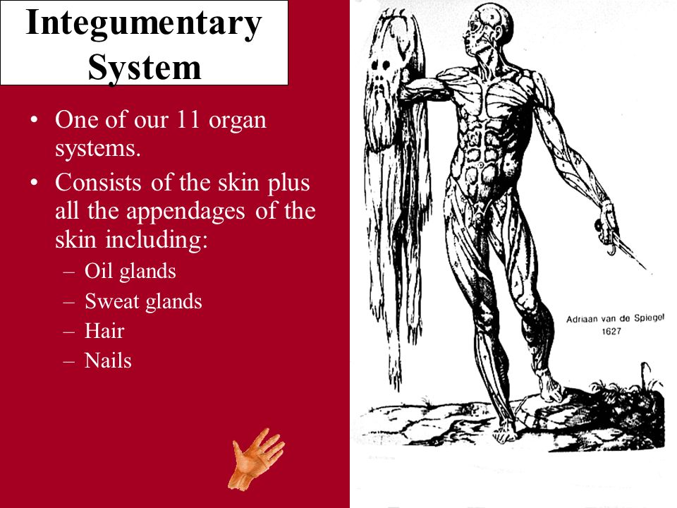Integumentary System One Of Our 11 Organ Systems Consists Of The