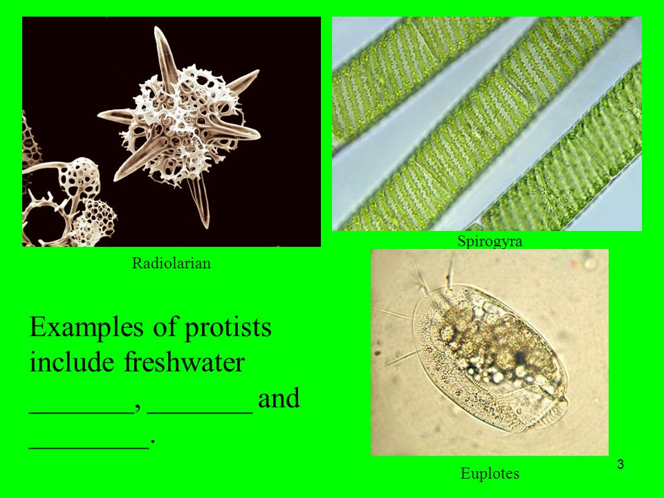 1 the kingdom protista objective: 20.1 explain what a protist is