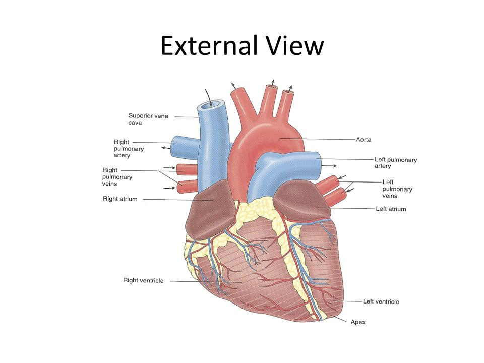 Ch 78 Cardiovascular System Ence Channel29732 Exploring Time