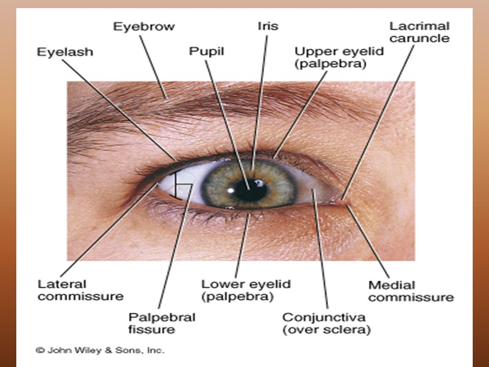 The Special Senses External Anatomy of the Eye. - ppt download