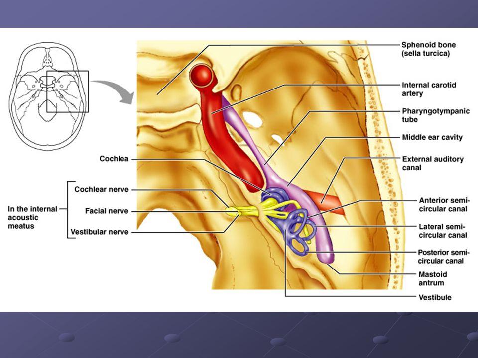 Modern Internal Auditory Canal Anatomy Model - Anatomy And ...