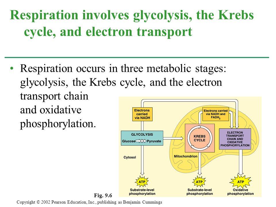 glycolysis krebs cycle oxidative phosphorylation