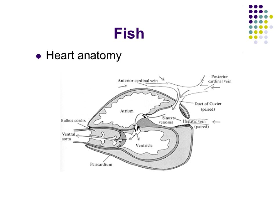 Comparative Vertebrate Physiology Cardiovascular systems in ...