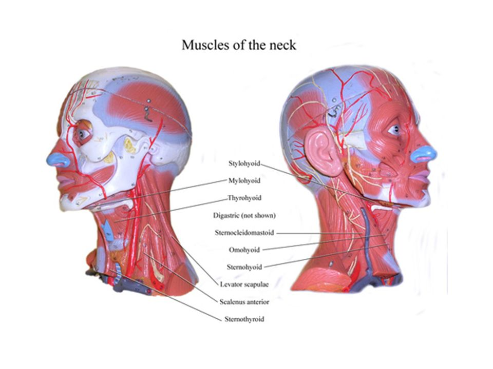 Muscles Of The Face And Neck Ppt Download