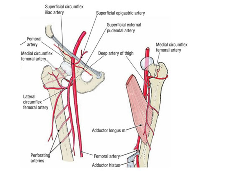 And Deep Femoral Artery And Vein Diagram - Complete Wiring Diagrams •