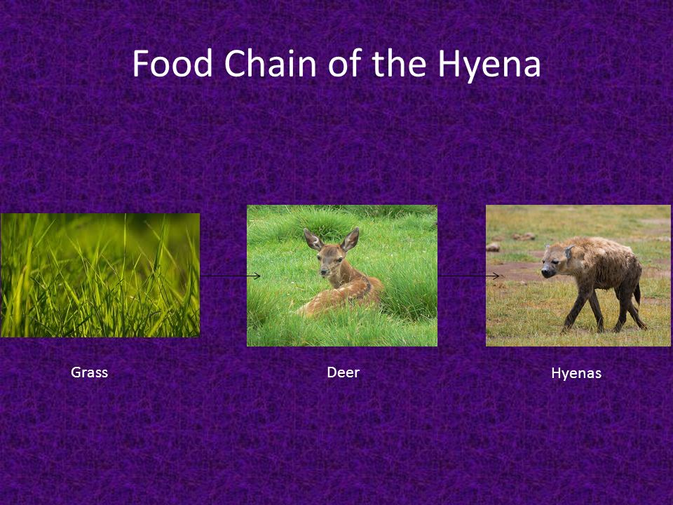 Hyenas By Gage Tramayne And Tre Long Diagram Hind Legs Are Shorter