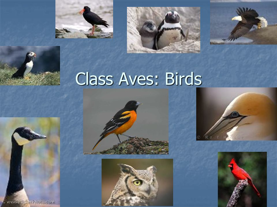 class aves birds characteristics of class aves adaptations for