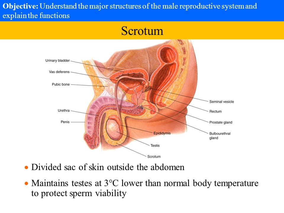 Objective: Understand the major structures of the male reproductive ...