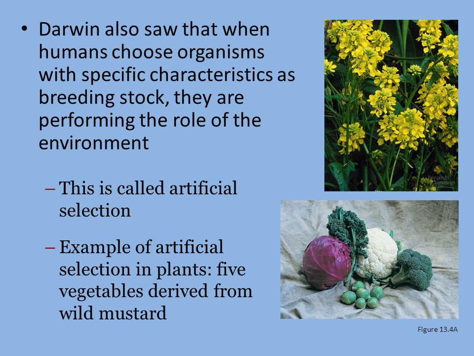 Natural Selection Darwin Observed That Organisms Produce More