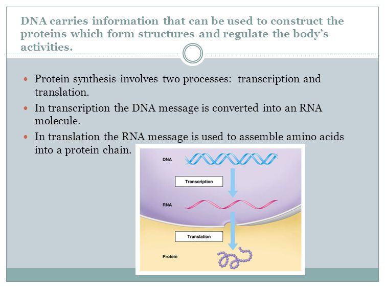 DNA Replication Review Three main steps: Helicase unzips/unwinds the ...