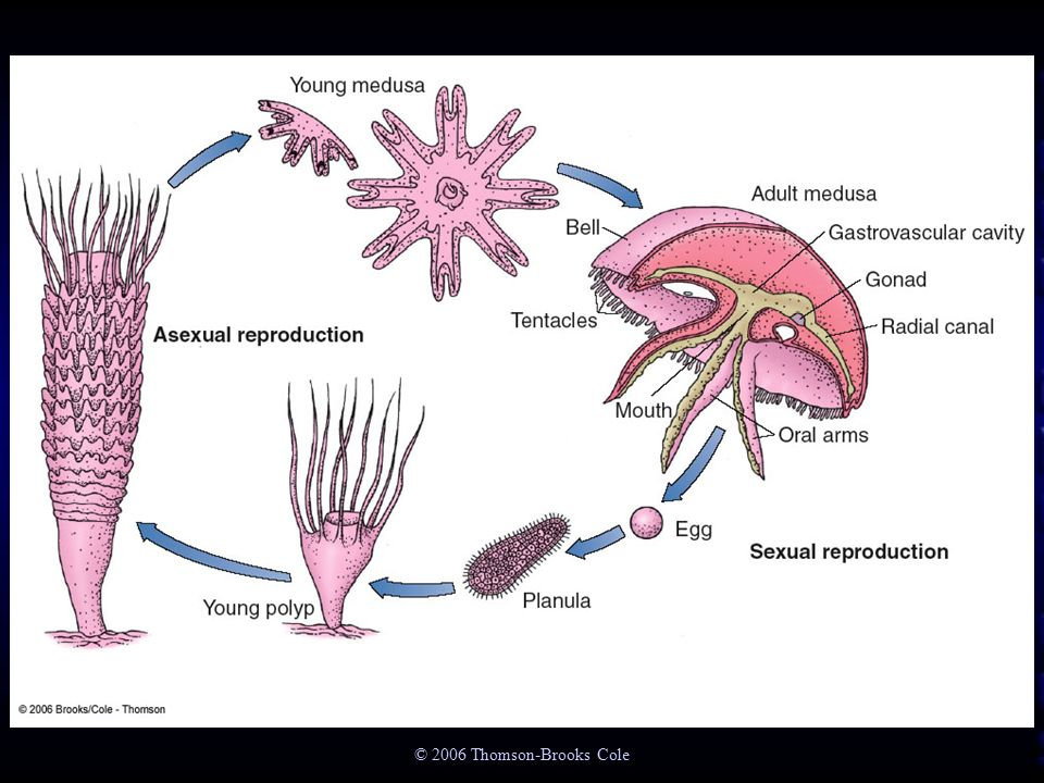 Anthozoa asexual reproduction in fungi