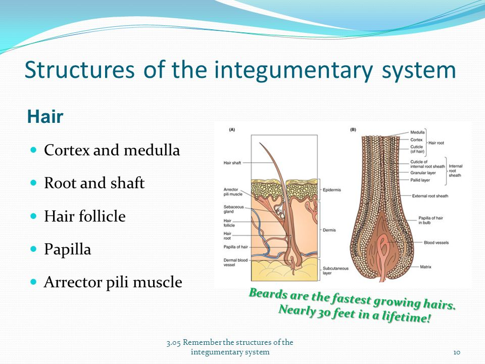 Essential Questions What Are The Structures Of The Integumentary