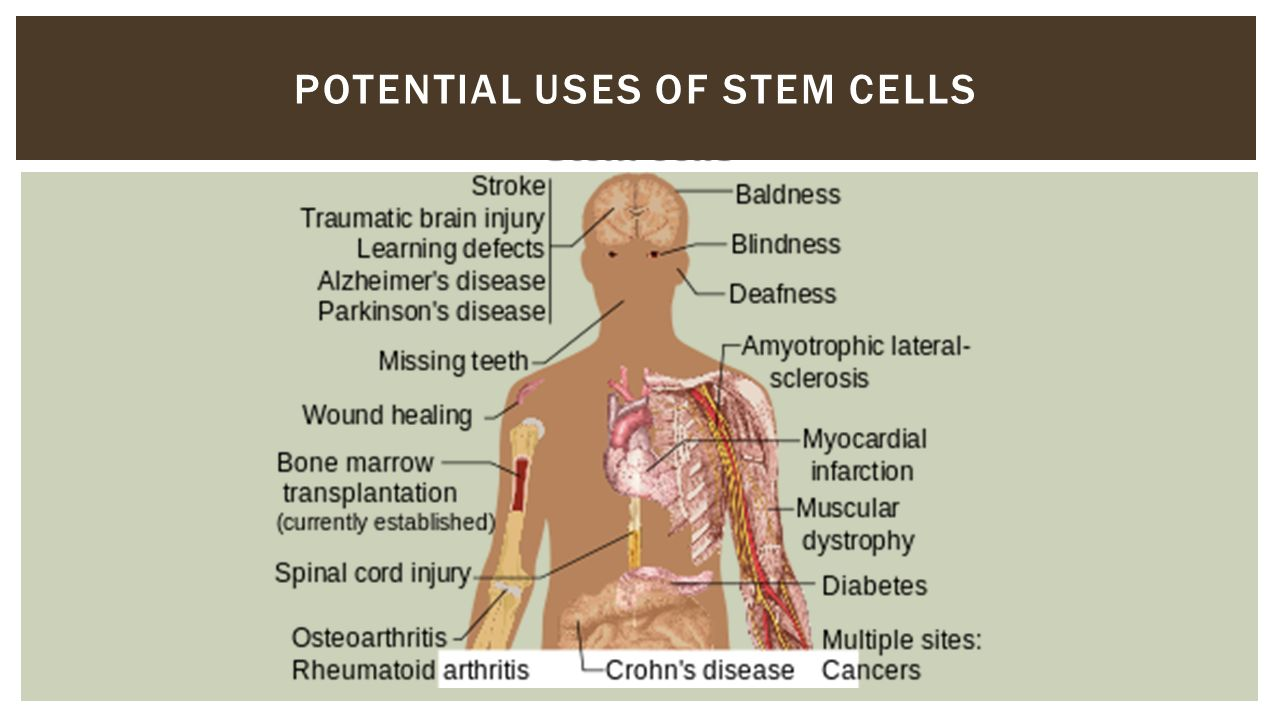 STEM CELLS   Where do the different cells and tissues in