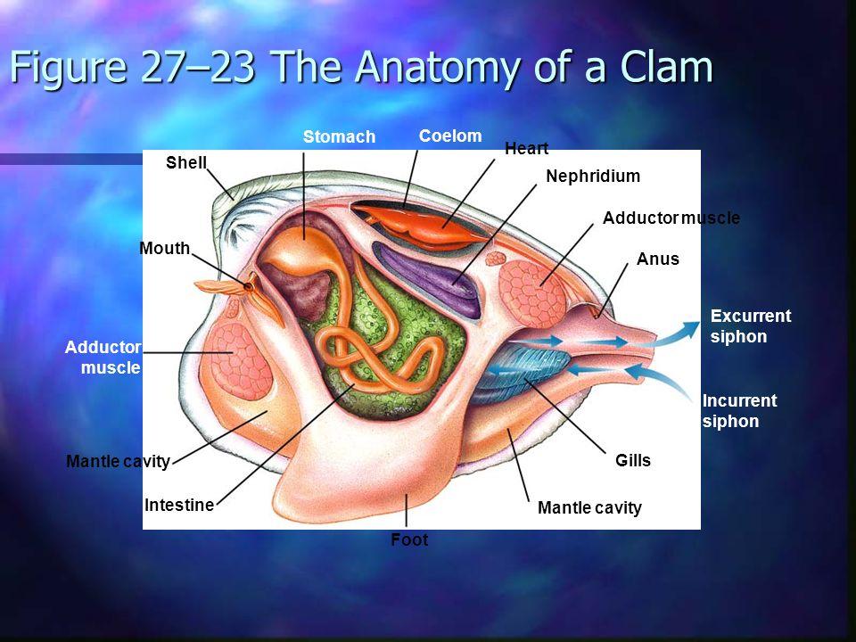 Ch  27 Phylum Mollusca Soft bodies Soft bodies Internal or