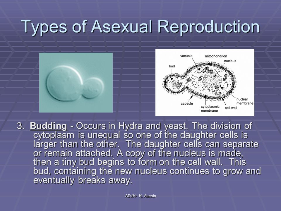 Asexual reproduction through budding takes place in the nucleus