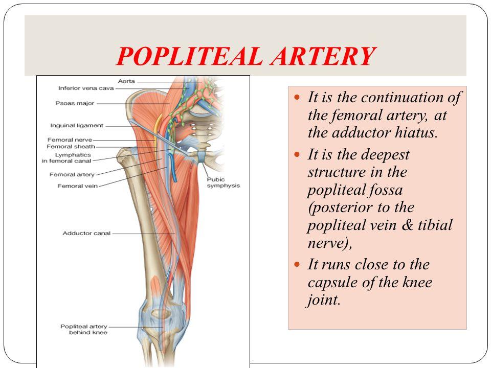 Arteries And Veins Of The Lower Limb Dr Jamila Elmedany Dr Essam