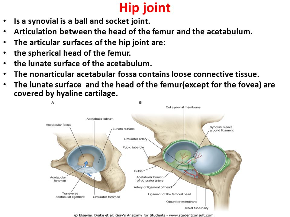 Objectives Know The Type And Formation Of Hip Joint Differentiate