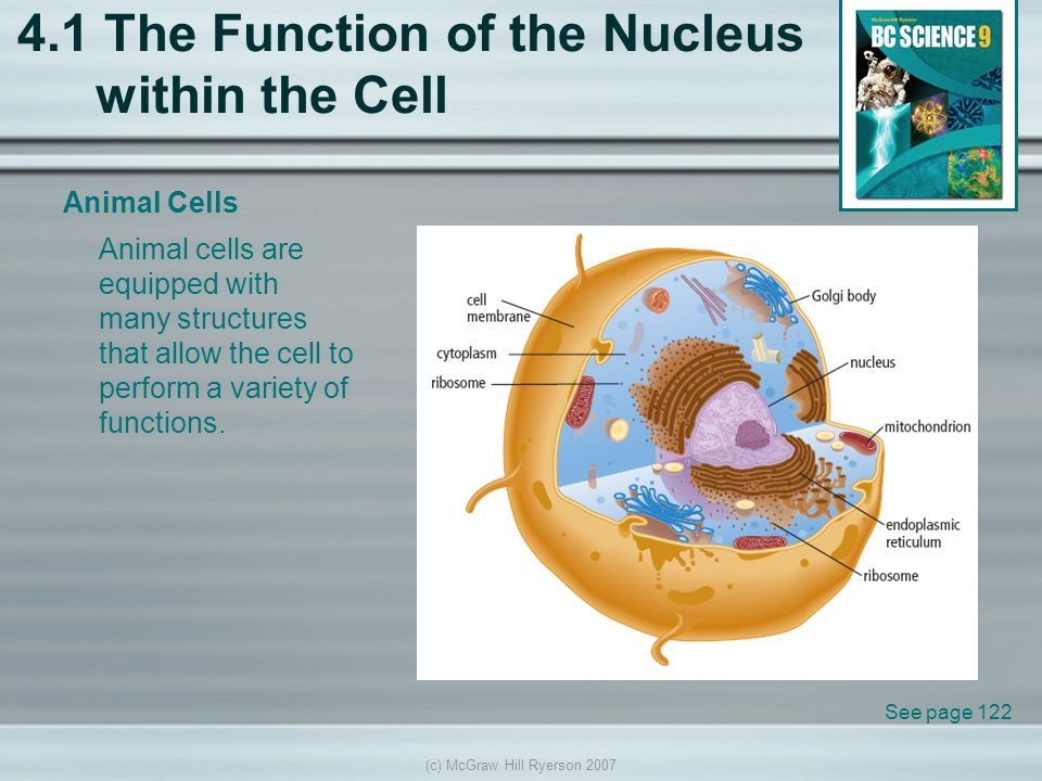 slide_1 c) mcgraw hill ryerson the function of the nucleus within the cell