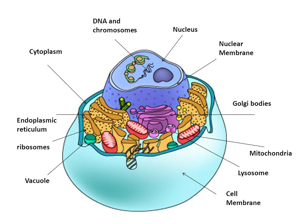 Animal and plant cells and organelles road system ppt download 47 endoplasmic reticulum mitochondria golgi bodies cytoplasm nucleus vacuole lysosome ribosomes dna and chromosomes nuclear membrane cell membrane ccuart Gallery