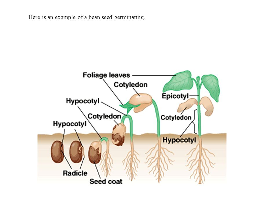Identifying Seed Germination Processes And Requirements Ppt Download