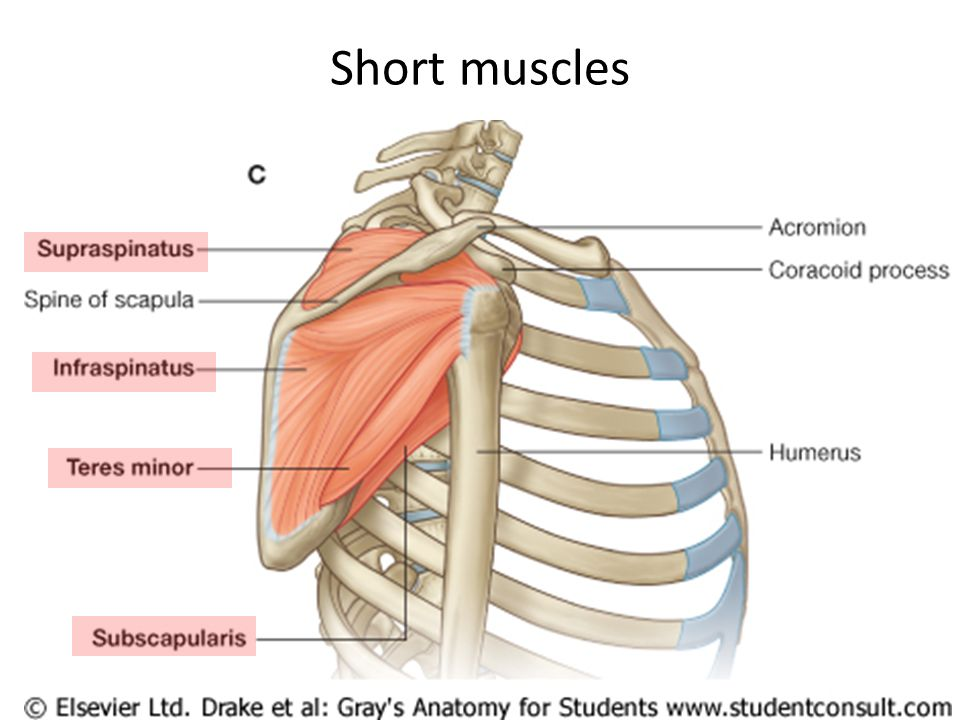 Upper Limb Regions Shoulder Arm & Forearm Hand. - ppt download