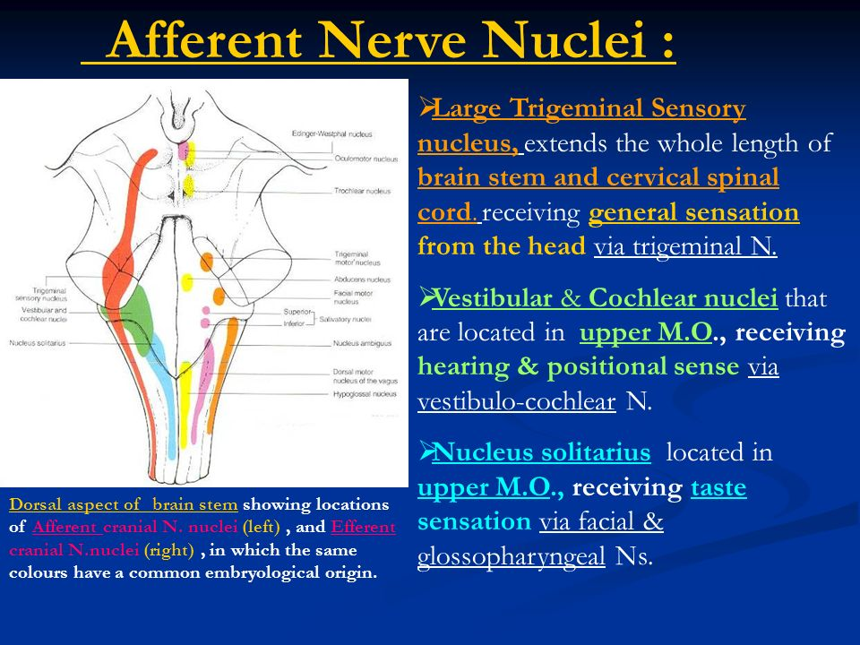 Cranial Nerves Cranial Nerve Nuclei The Base Of The Brain