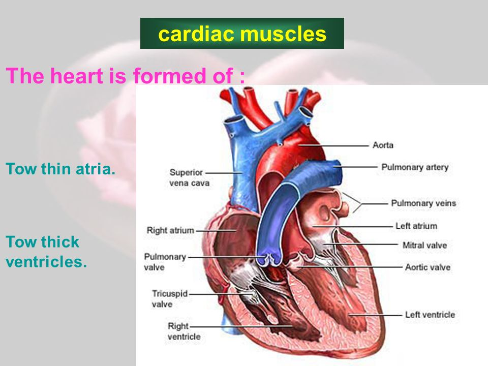 CARDIAC MUSCLES Presented by: Tagreed AL-turki. Contents: different ...