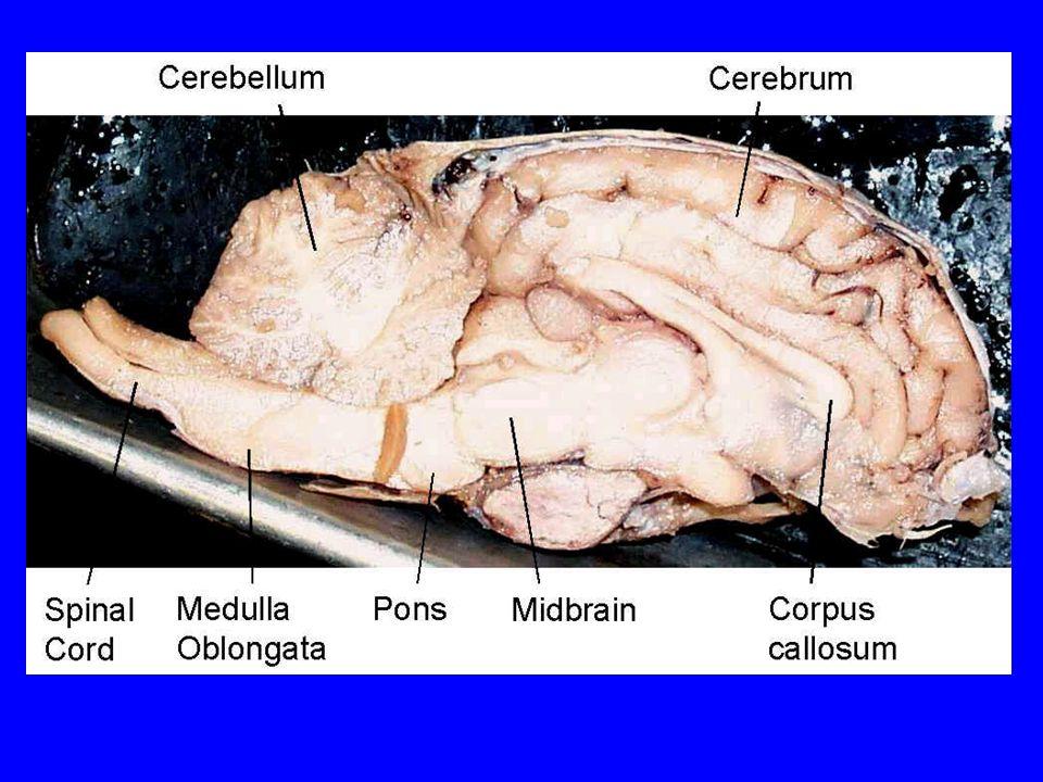 The Nervous System Fetal Pig Dissection Part ppt download
