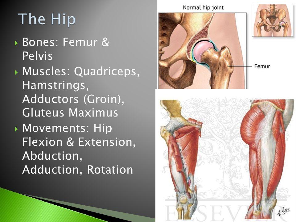 Bones Femur Pelvis Muscles Quadriceps Hamstrings Adductors