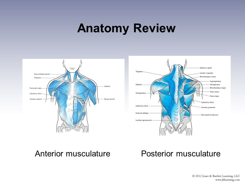 Chapter 11 Injuries to the Shoulder Region. Anatomy Review Bones ...