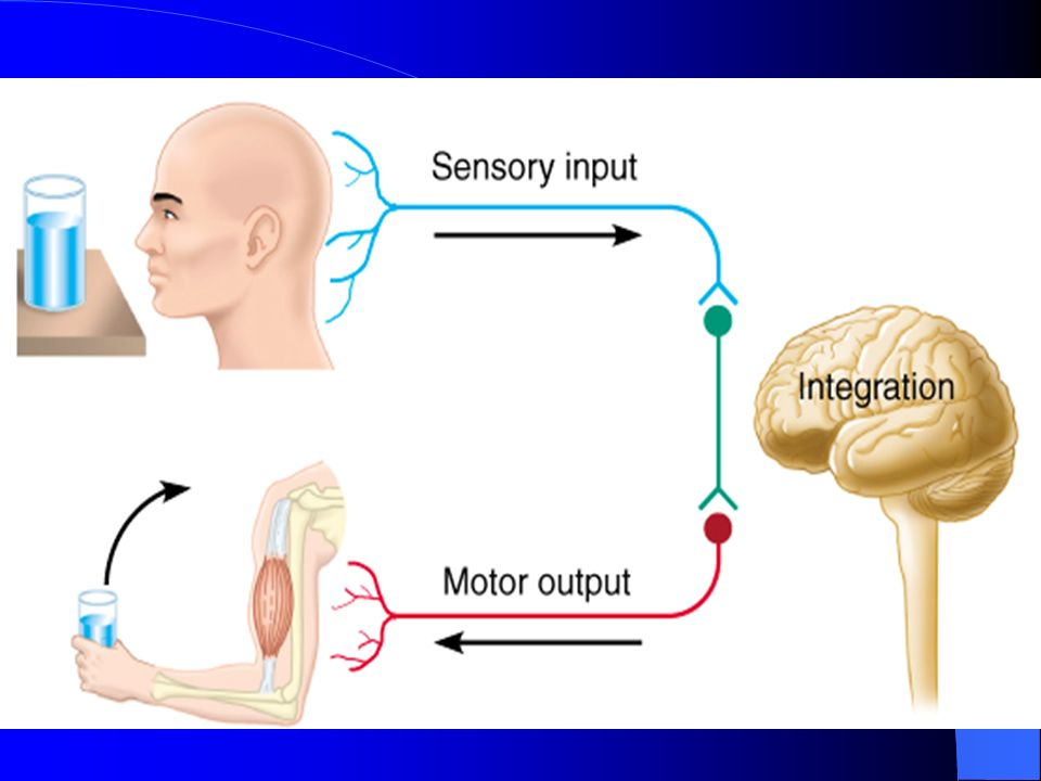 Nervous System Anatomy and Physiology The master controlling and ...