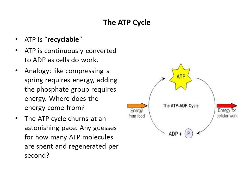 Cellular Respiration Introduction To Perform Their Many Tasks