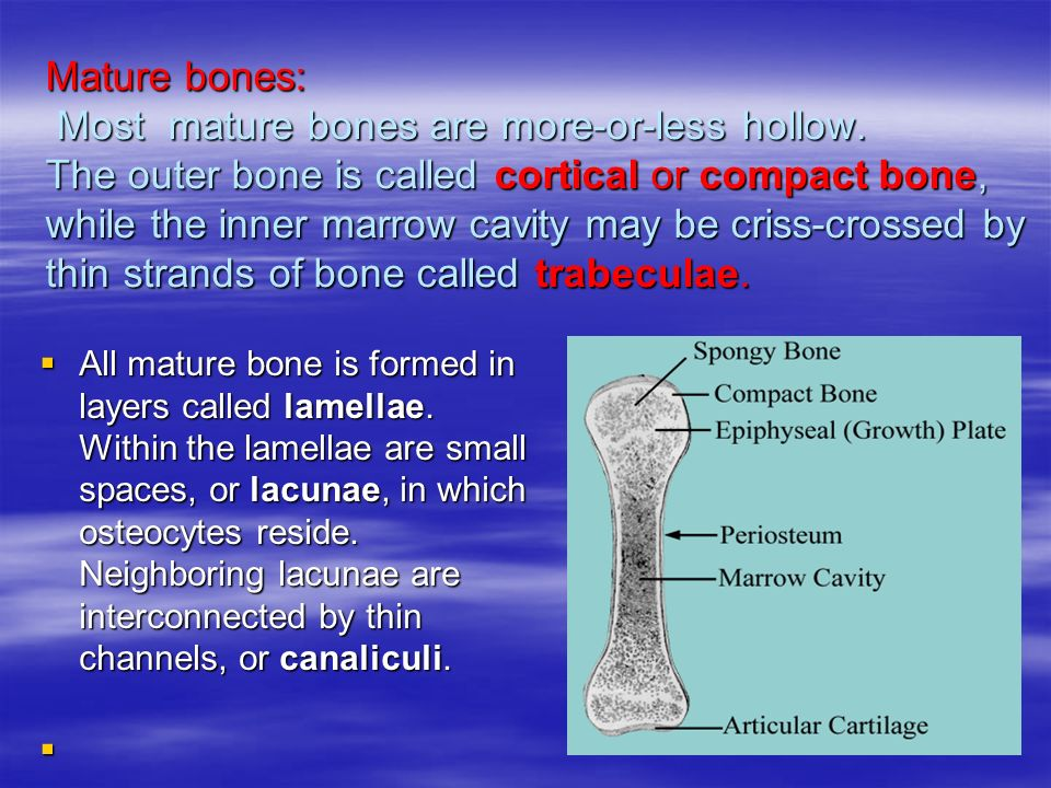 Fascinating Small Spaces In The Bone Where Osteocytes Are Located ...