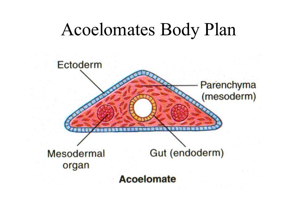 Acoelomeaza phylum platyhelminthes - Állatrendszertan – Wikipédia