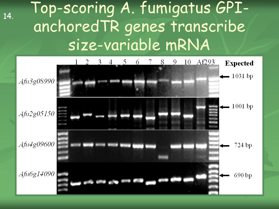 Top-scoring A. fumigatus GPI- anchoredTR genes transcribe size-variable mRNA 14.