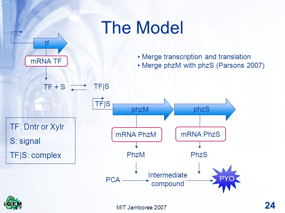 MIT Jamboree 2007 The Model 24 PhzMPhzS PCA Intermediate compound PYO TF + S TF|S tf phzM phzS TF|S mRNA PhzM mRNA PhzS mRNA TF Merge transcription and translation Merge phzM with phzS (Parsons 2007) TF: Dntr or Xylr S: signal TF|S: complex