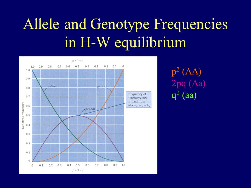 Allele and Genotype Frequencies in H-W equilibrium p 2 (AA) 2pq (Aa) q 2 (aa)