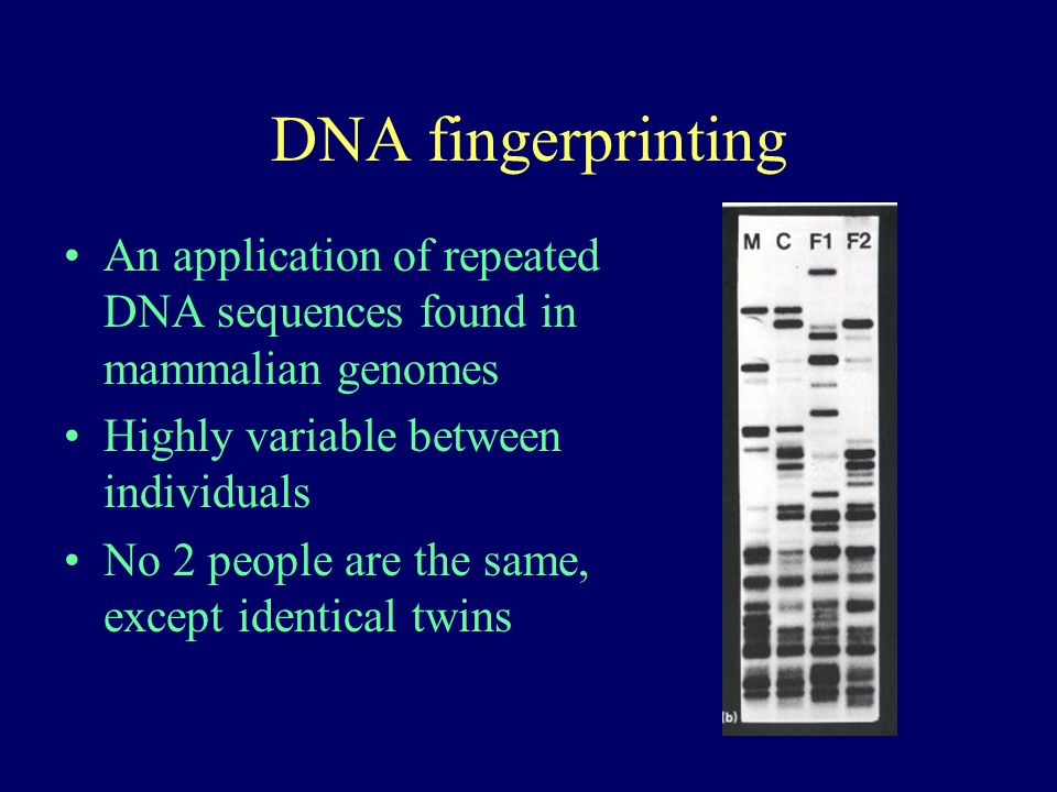 DNA fingerprinting An application of repeated DNA sequences found in mammalian genomes Highly variable between individuals No 2 people are the same, except identical twins