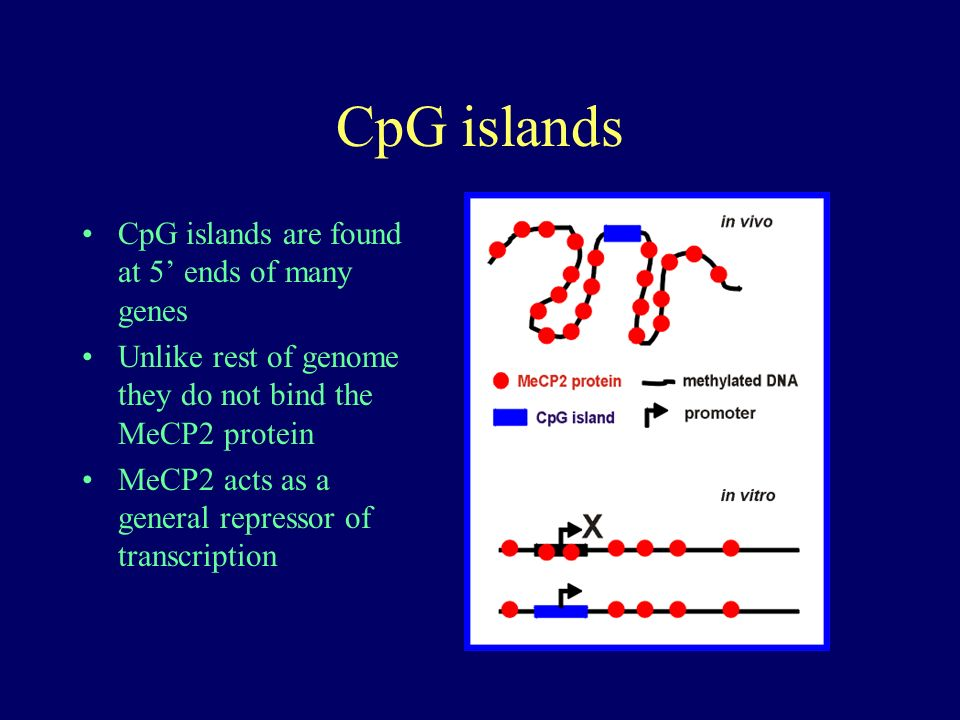 CpG islands CpG islands are found at 5 ends of many genes Unlike rest of genome they do not bind the MeCP2 protein MeCP2 acts as a general repressor of transcription