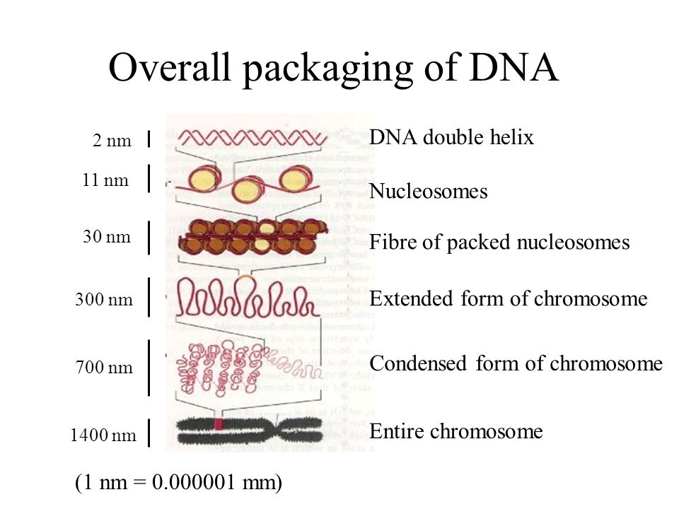 Overall packaging of DNA 2 nm 11 nm 30 nm 300 nm 700 nm 1400 nm (1 nm = 0.000001 mm) DNA double helix Nucleosomes Fibre of packed nucleosomes Extended form of chromosome Condensed form of chromosome Entire chromosome